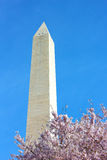 The Washington Monument with cherry blossoming branch. Stock Photo