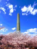 Washington Monument Cherry Blossoms Arkivfoto