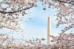 Washington monument with cherry blossoms Royalty Free Stock Image