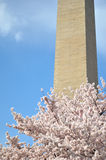 Washington Monument Cherry Blossoms Royaltyfria Foton