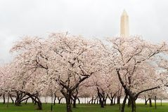 Washington Monument and Cherry Blossoms Royalty Free Stock Photography