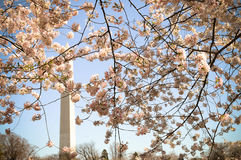 Washington Monument through Cherry Blossoms Stock Photos