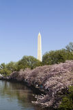 Washington Monument Cherry Blossoms Stock Photography