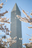 Washington Monument with Cherry Blossoms. On the sunny day Royalty Free Stock Photo
