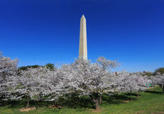 Washington Monument And Cherry Blossoms Stock Image