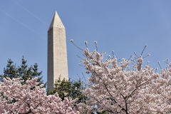 The Washington Monument with cherry trees. A cloudless blue sky serves as a backdrop for the Washington Monument. Cherry trees in the foreground are in bloom Stock Photo