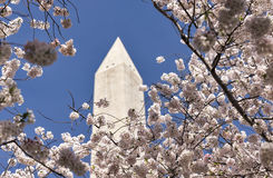 Washington Monument with cherry trees in front Royalty Free Stock Photography