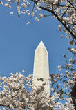 Washington Monument with cherry trees in front Stock Image