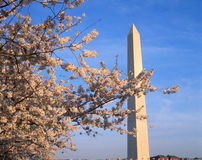 Washington Monument com flores de cerejeira na primavera, Washington D C Imagens de Stock Royalty Free