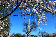 Washington Monument DC Cherry Blossom time. Washington Monument DC Cherry Blossom Royalty Free Stock Images
