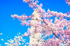 Washington Monument durante Cherry Blossom Festival Imagem de Stock