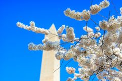 Washington Monument durante Cherry Blossom Festival Fotografia de Stock Royalty Free