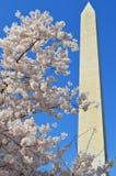 Washington Monument e Cherry Blossom Tree Fotografia de Stock Royalty Free