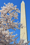 Washington Monument en Cherry Blossom Tree Royalty-vrije Stock Fotografie