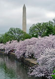 Washington Monument framed by cherry blossoms. Storm clouds and cherry blossoms surround the Washington Monument during the Cherry Blossom Festival in Washington Royalty Free Stock Photography