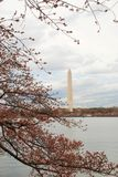 Washington Monument Framed by Cherry Blossoms Stock Photography