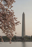 Washington Monument och Cherry Blossoms royaltyfria foton