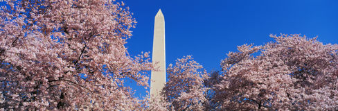 Washington Monument with spring cherry blossoms Stock Photo