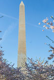 Washington Monument stands behind Cherry Blossoms Stock Image
