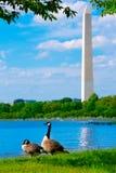 Washington Monument and Tidal Basin ducks DC Stock Image