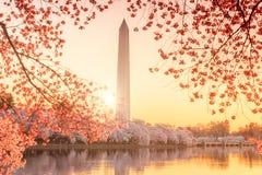 Washington Monument tijdens Cherry Blossom Festival stock afbeelding