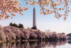 Washington Monument towers above blossoms royalty free stock photography