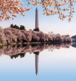 Washington Monument towers above blossoms Stock Photography