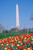 Washington Monument with tulips in spring, Washington D.C. Stock Photo