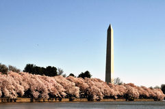 Washington Monument während Cherry Blossom Festivals Lizenzfreie Stockfotografie