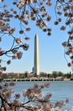 Washington Monument während Cherry Blossom Festivals Stockbilder