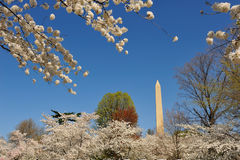 Washington Monument, Washington, DC. Washington Monument with cherry blossoms, Washington, DC Stock Images