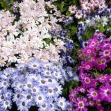 Washington Multicolored Daisies 2010 Immagine Stock