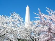 Washington Pink Cherry Blossoms runt om Washington Monument 2 fotografering för bildbyråer