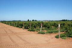Washington Raspberry Acreage Royalty Free Stock Images