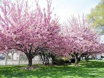 Washington Sakura arbres en avril 2010 Photos libres de droits