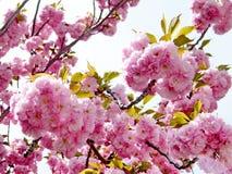 Washington Sakura fleurs en avril 2010 Photographie stock libre de droits