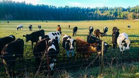 Cows. Washington State Farm Royalty Free Stock Images