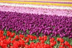 Washington State, Skagit-de tulpen van Valleimulitcolor Royalty-vrije Stock Afbeeldingen