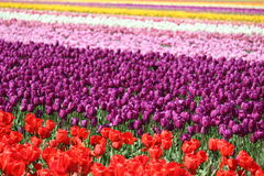 Washington State, Skagit Valley Mulitcolor tulips. Multicolor rows of tulips from the Skagit Valley in Washington State on a sunny day Royalty Free Stock Images