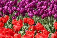 Washington State, Skagit Valley Mulitcolor tulips. Tulips from the Skagit Valley in Washington State on a sunny day stock photos
