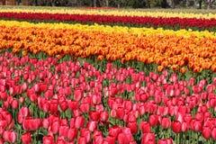 Washington State, tulipas de Mulitcolor do vale de Skagit Fotografia de Stock Royalty Free
