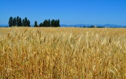 Washington Wheat Fields Stock Image