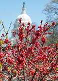 Washington Winterberry 2010 Foto de Stock