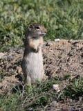 Washingtoni de Washington Ground Squirrel - de Urocitellus Imagen de archivo libre de regalías