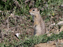 Washingtoni di Urocitellus - di Washington Ground Squirrel Fotografia Stock Libera da Diritti