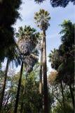 Washingtonia饱满,墨西哥扇形棕榈或墨西哥washingtonia,棕榈,植物 免版税库存图片