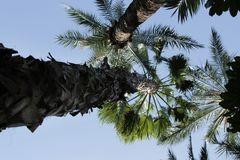 Washingtonia bonito Filifera em Elche, Espanha imagens de stock