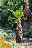 Washingtonia filamentous Royalty Free Stock Photo
