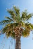 Washingtonia Filifera棕榈树 免版税库存照片