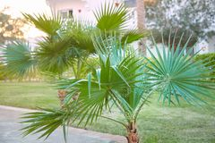 Washingtonia filifera生长的棕榈树户外 免版税库存图片